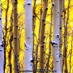 Owl Creek Aspens, Colorado