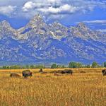 Buffaloes & The Grand Tetons